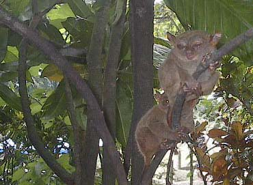 sleepy-tarsiers